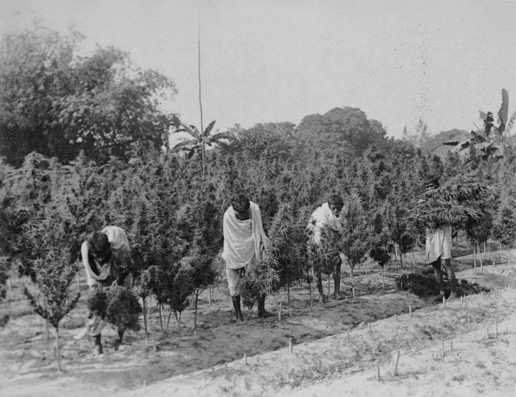 Ganja Mahala 1894
